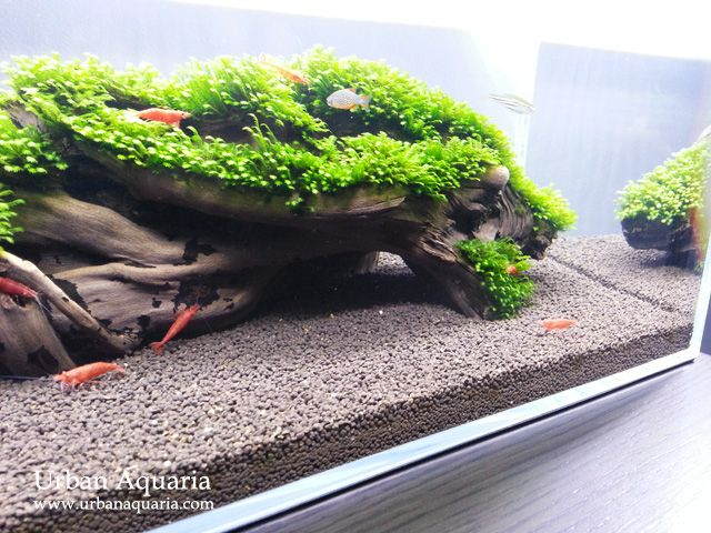 AQ is an active forum of aquarium hobbyists. Join us and share our passion for aquatic plants and fishes, shrimp, plant aquariums, and paludariums.
