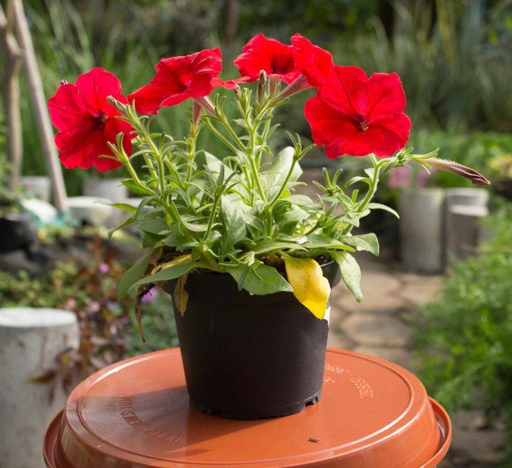 Planta Petunia Roja