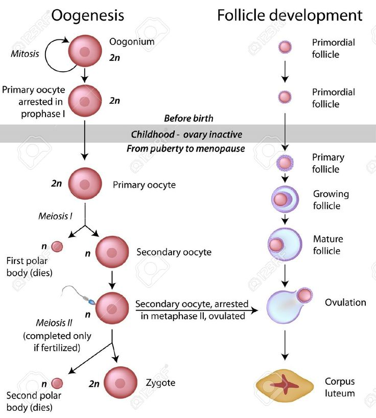 29 best genetics images on pinterest genetics ap biology and 16032401 oogenesis stock vector mitosis meiosisg 1170 malvernweather Images