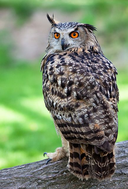 Best 400 Owls Images On Pinterest Barn Owls Owls And Beautiful Owl
