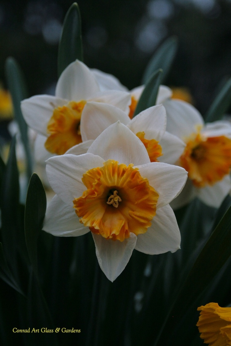 11 best a host of golden daffodils images on pinterest daffodils