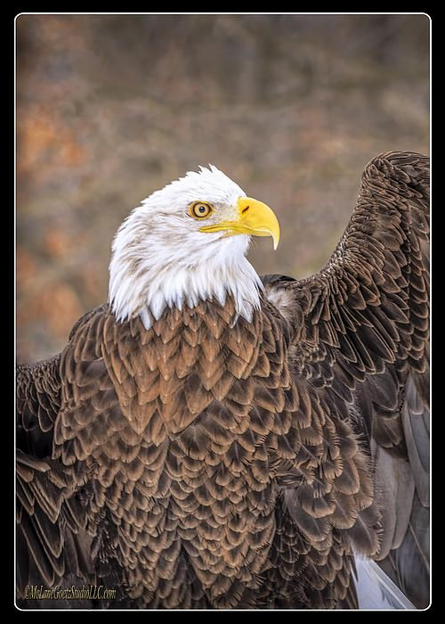 American Bald Eagle By LeeAnn McLaneGoetz McLaneGoetzStudioLLC.com  Did you know that the male and female bald eagles are identical in plumage, but females are about 25 percent larger than males. Howell Michigan #AMERICA,#eAGLE