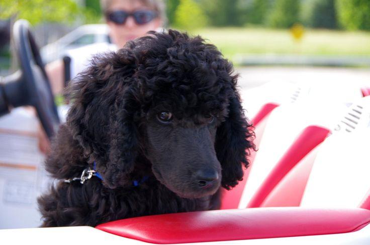 black standard poodle puppy - photo #1