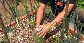 Вот что будет, если посадить базилик на одной грядке с перцем, помидорами и огурцами