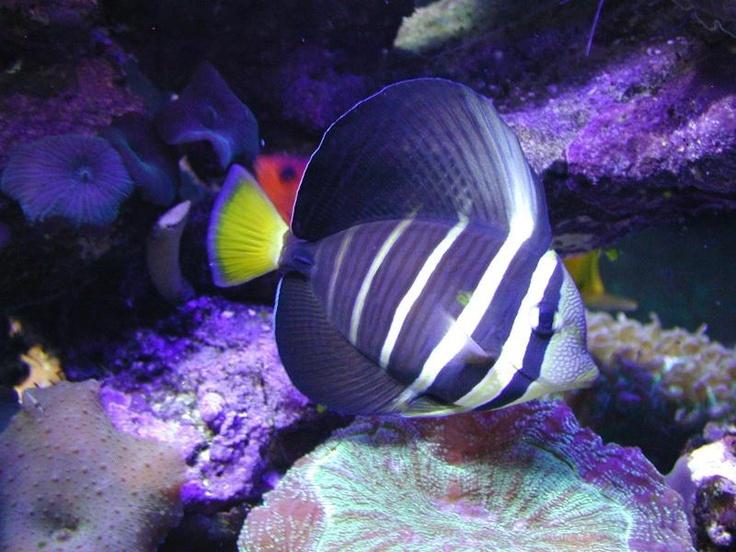25 best exotic fish ideas on pinterest beautiful fish for Rare aquarium fish