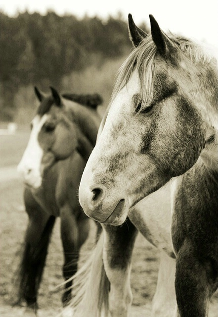 Pinto Horse Coloring Pages: 413 Best Images About Animal Coloring Pages On Pinterest