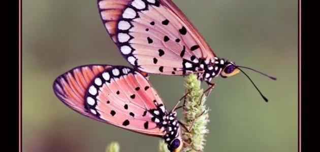 En-Guzel-Kelebek-Resimleri