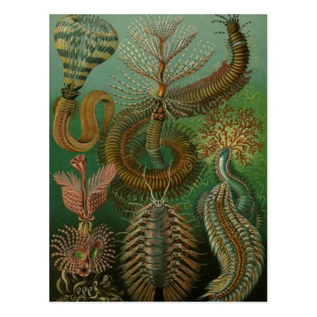Vintage Worms Annelids Chaetopoda by Ernst Haeckel Postcard | Zazzle.com – The Simple Succulent