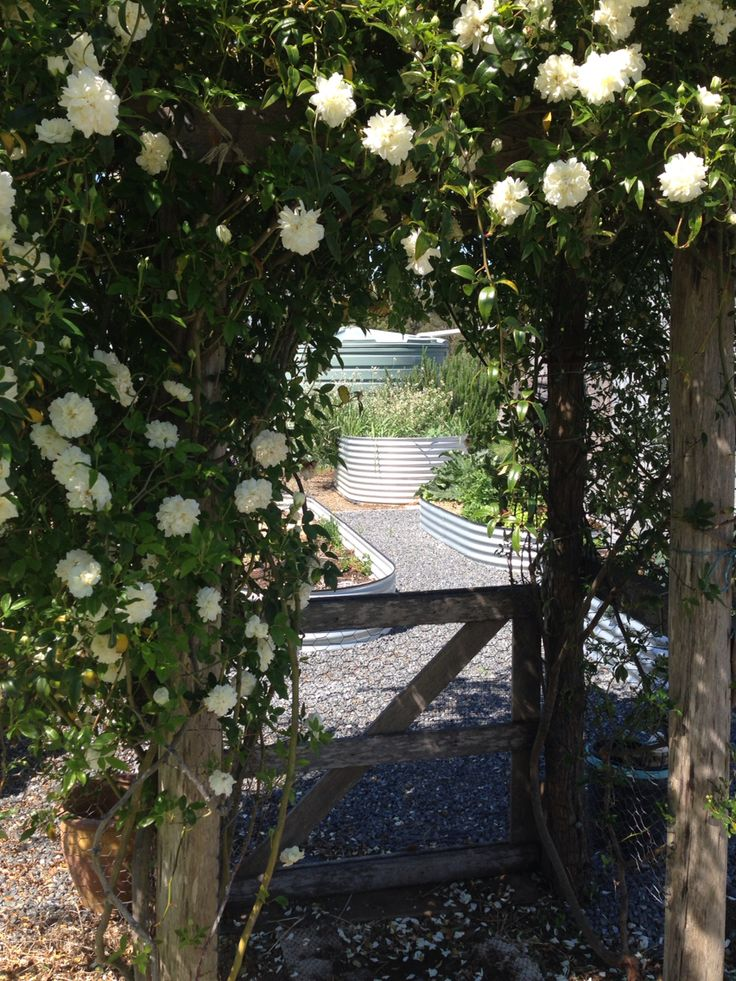 View through the Banksia rose archway into our veggie patch.