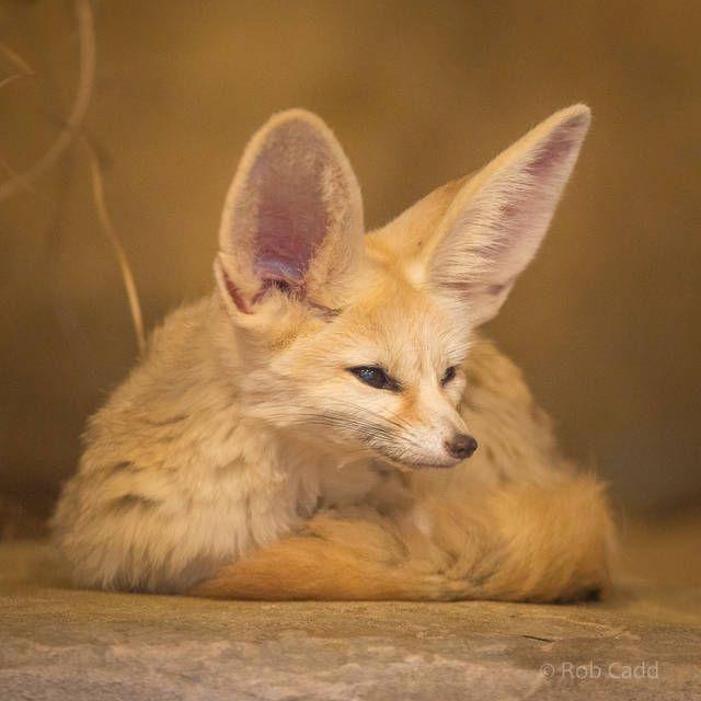 114 best mammals carnivora images on pinterest mammals - Pagina da colorare fennec fox ...