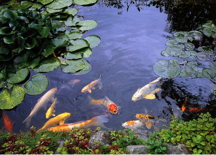 45 best koi images on pinterest goldfish exotic fish for Best aquatic plants for small ponds