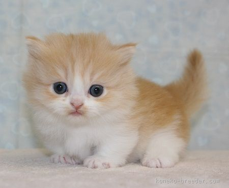 みんなの子猫ブリーダー|マンチカン 男の子 レッドタビー&ホワイト 2016/01/25生まれ 千葉県 子猫ID:1602-00460 ※短足・ロングヘアの男の子です!