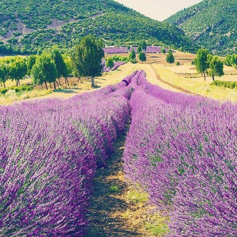 Lavender fields Isparta Turkey