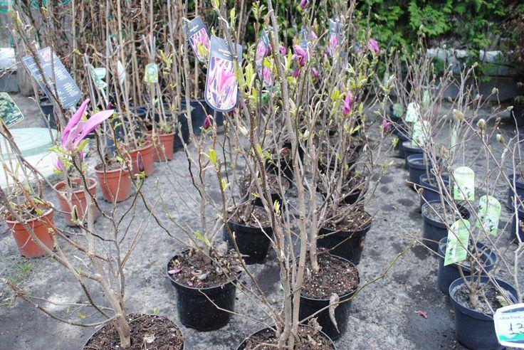 Магнолия (Magnolia), уличные растения, садовые цветы