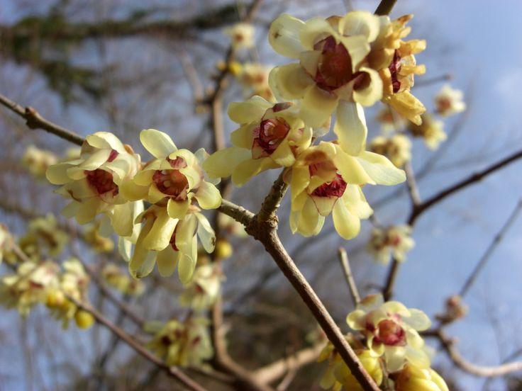 how to grow chimonanthus praecox