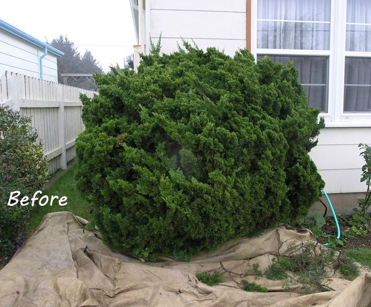 Pruning Juniper Before And After Lawn Garden Garden