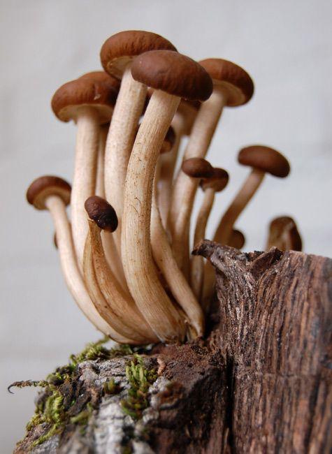 Image result for shimeji mushroom wild