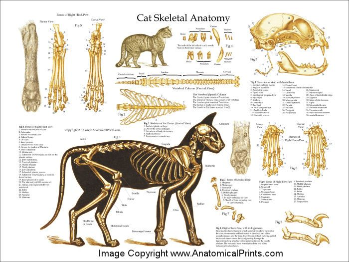 "Animal Anatomy Anatomy And Cat: Cat Skeletal Anatomy Poster - 24"" X 36"" In 2019"