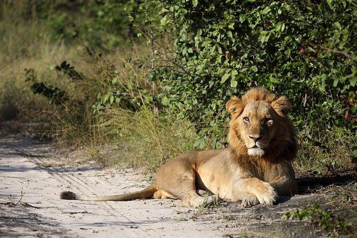 Battle-scarred king of Kings Pool #Linyanti #Botswana #safari © Natural History Film Unit