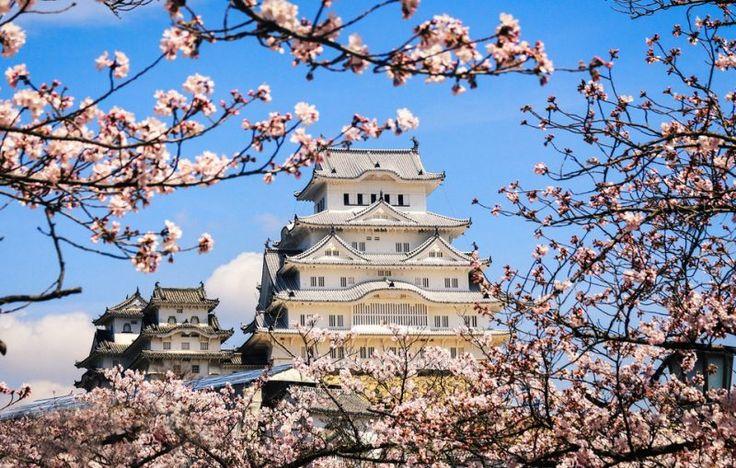 Himeji castle during the cherry blossom season
