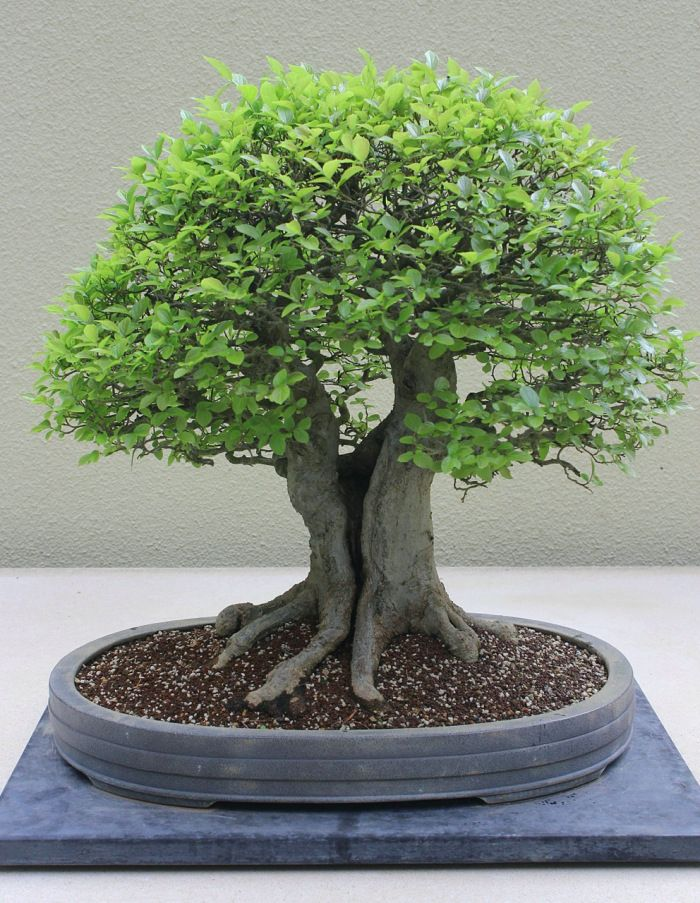 "Bonsai - Chinese Hackberry ""Celtis Sinensis"""