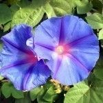 Morning glories are beautiful oldfashioned plants that add color and vertical interest to any garden. Pot growing morning glory plants is a great way to keep these vigorous vines in check. This article will help.
