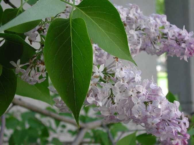 Almindelig Syren Hvid / Syringa vulgaris 'Alba' / Skov,- & Landskabsplanter
