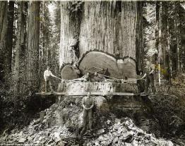 #Curiosità dalla #storia: Boscaioli lavorano tra le sequoie della California, 1915. Fotografia di AW Ericson