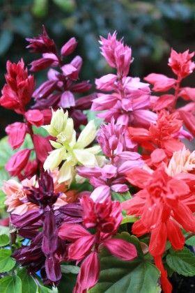 Salvia Mixed #pohlmansnursery #10pots #gardening #australia
