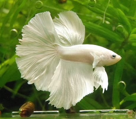17 mejores ideas sobre peces de agua dulce en pinterest for Los mejores peces de agua fria