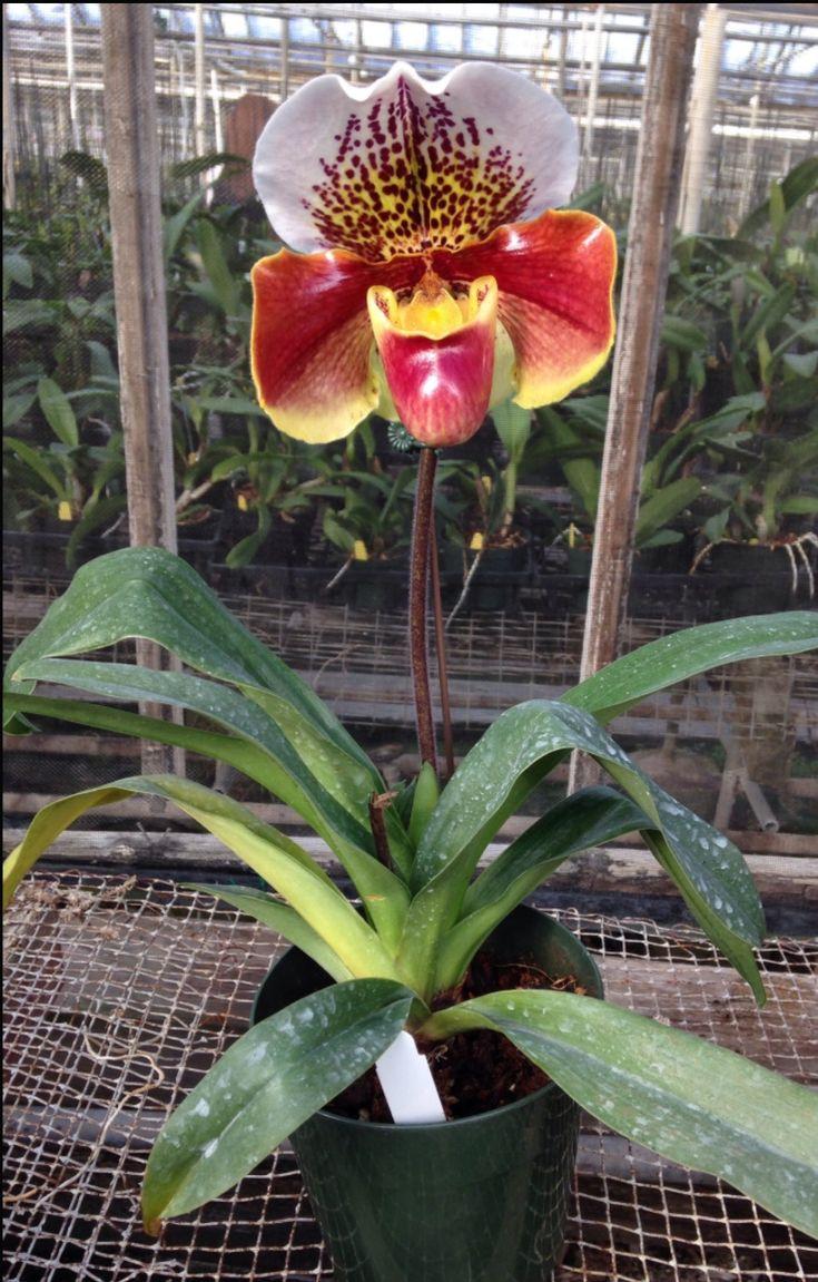 Orquídea ❤