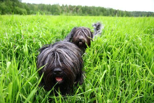 schapendoes dog photo | Шапендус (Schapendoes) - Животные и природа