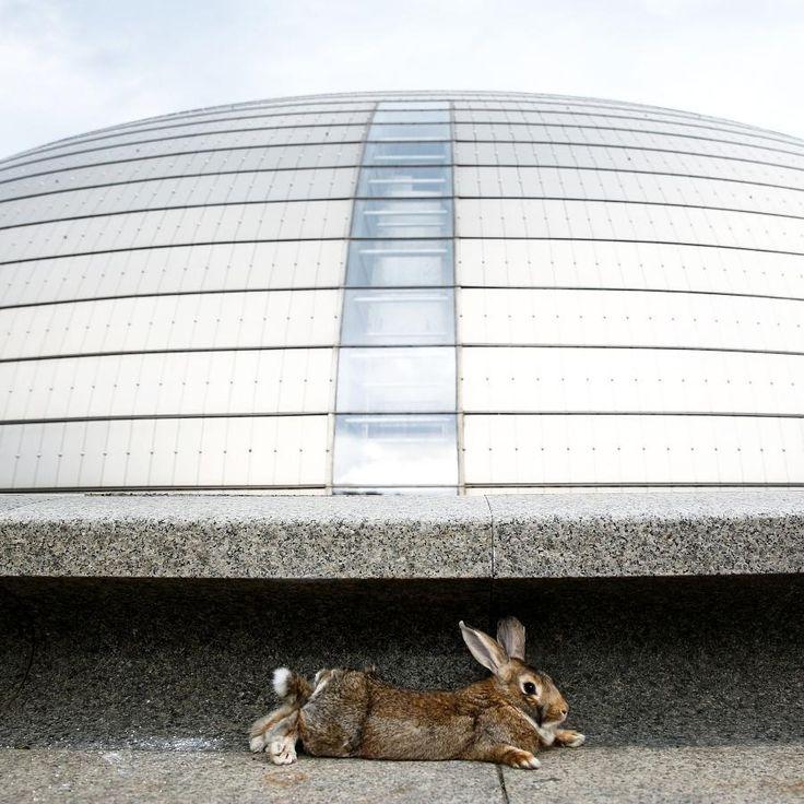 Powernapping: Ein Kaninchen hat es sich vor dem Zentrum für Performancekunst in Peking gemütlich gemacht.  Foto: Thomas Peter/Reuters