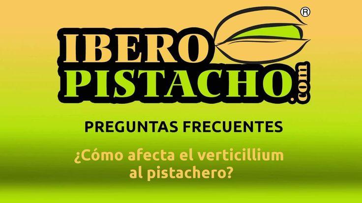 ¿Cómo afecta el verticillium al pistachero? - Preguntas Frecuentes - Ibe...