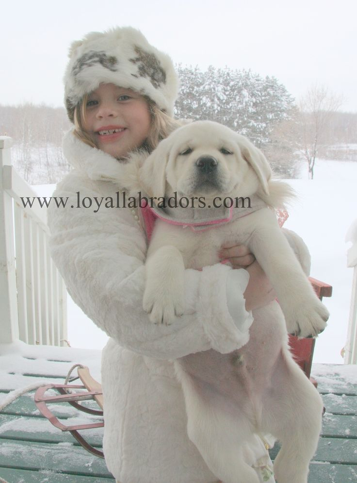 White English Labrador Puppies For Sale
