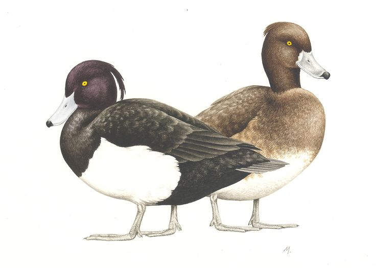 Tufted Duck. Aythya fuligula. Watercolor