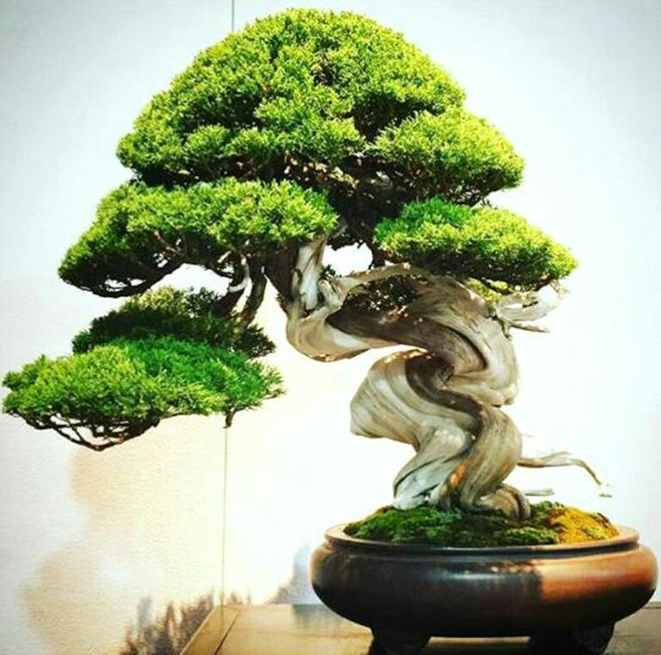 Forests Bonsai Trees Low Light Plants Gardens & 3401 best Bonsai images on Pinterest   Bonsai trees Bonsai plants ... azcodes.com