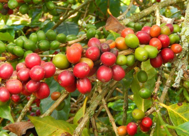 En la Hacienda Combia, en Calarcá (Quindío),  los turistas se acercan al mundo del café. Foto: Juan Uribe