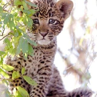Leopard cub - Mala Mala