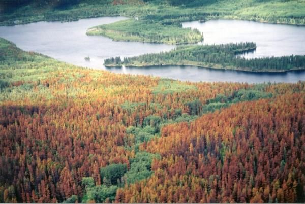 British Columbia's mountain pine beetle : an intermediate teacher's resource. [Kit]