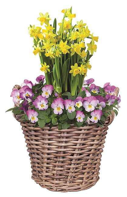 Viola og påskeliljer fra Mestergrønn. Om denne nettbutikken: http://nettbutikknytt.no/mestergronn-no/
