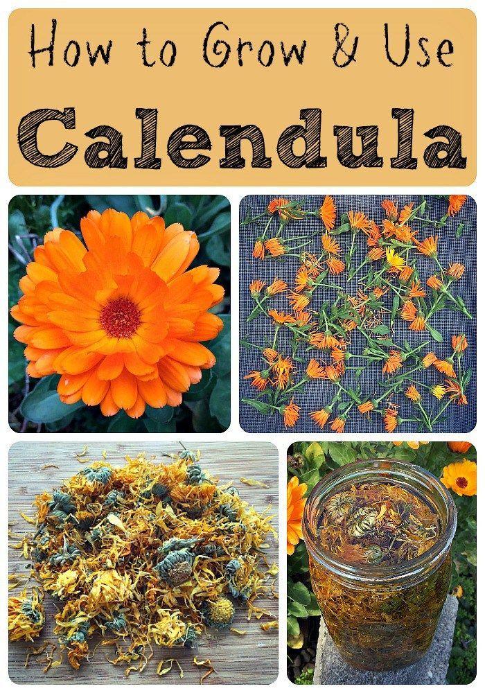 How To Grow And Use Calendula Herbalism Amp The Medicinal