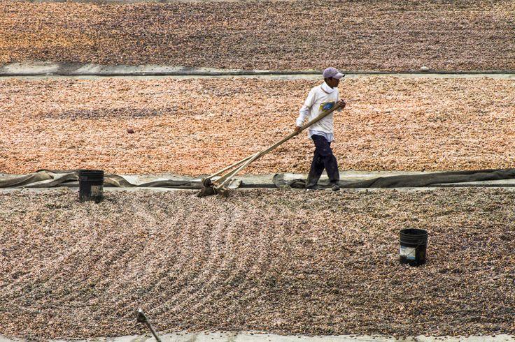 Proceso secado del cacao | Andres Alvarez