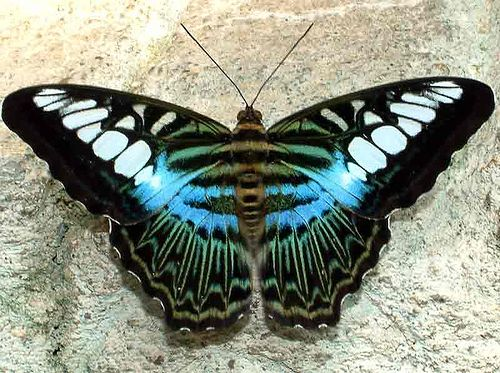 Amazing Clipper Parthenos sylvia This one is from Malaysia The same species in