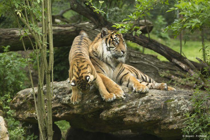 Des jeunes tigres de Sumatra sont nés au Bioparc en 2013 et 2014.