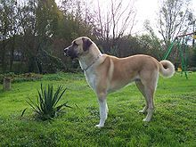 Anatolian Shepherd - My absolute favorite breed!! I wouldn't trade mine for the world!!!!
