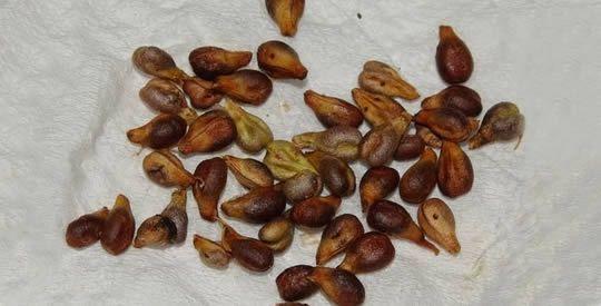 8 motivi per mangiare i semi d'uva | Rimedio Naturale