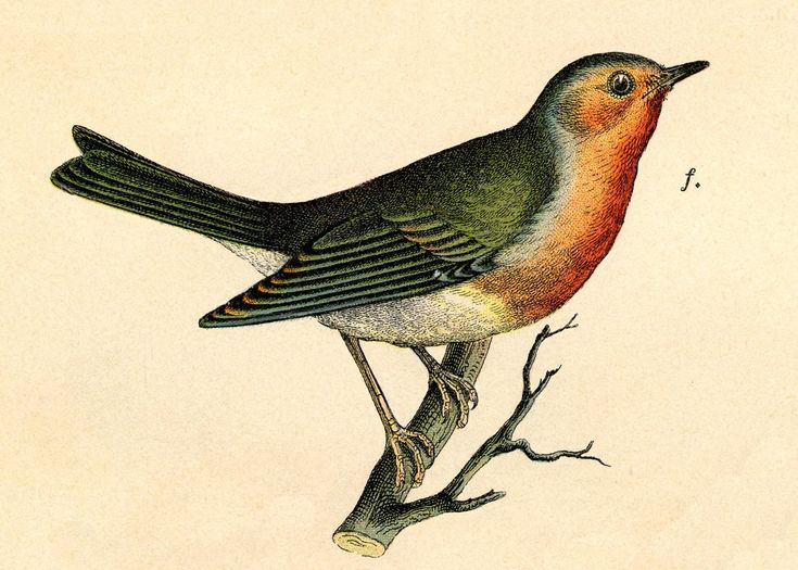 Vintage Graphic Image - Wonderful Robin on Branch - The Graphics Fairy