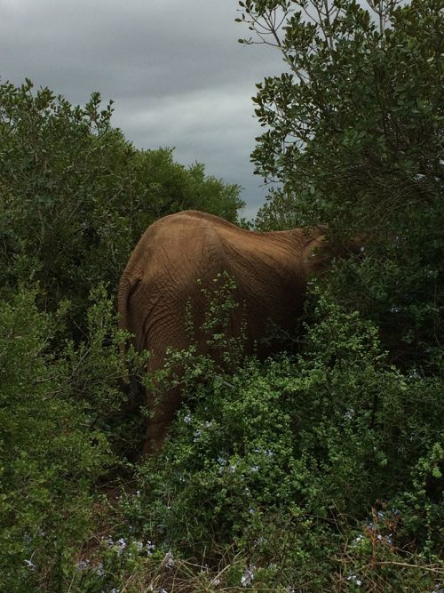 Olifant, Addo National Park, Suid-Afrika, Zuid-Afrika, South Africa