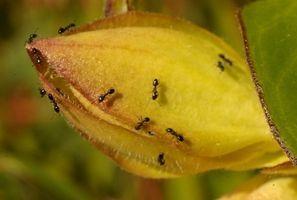 Homemade Carpenter Ant Killer thumbnail